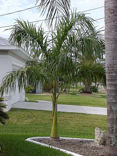 tr12Resized Palm Like House Plant on palm like fern, palm like leaves, palm like weeds, palm like succulents, palm like flower,